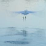 Egret Ascending