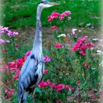 Heron in His Garden