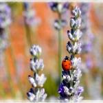 Ladybug on Lavender