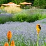 Lavender and Hummingbird