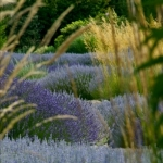 Lavender Through Grass