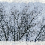 Treetop Crows