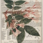 Mimosa on Old Page