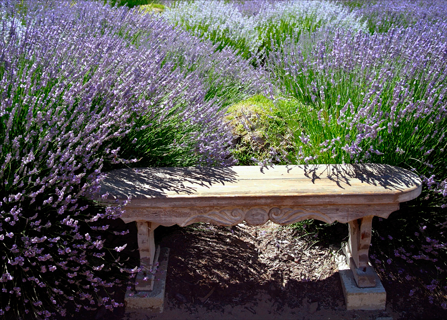 Lavender and Bench