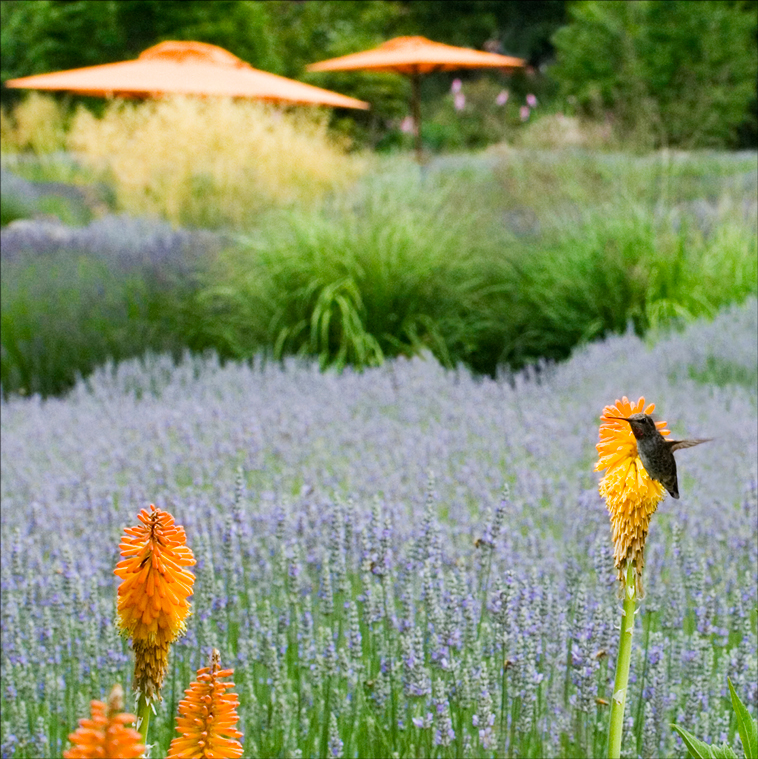 Lavender and Hummingbird