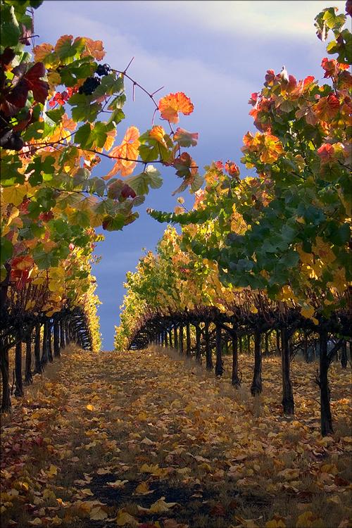 Vineyard After Rainstorm, Sonoma County