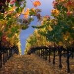 Vineyard After Rainstorm